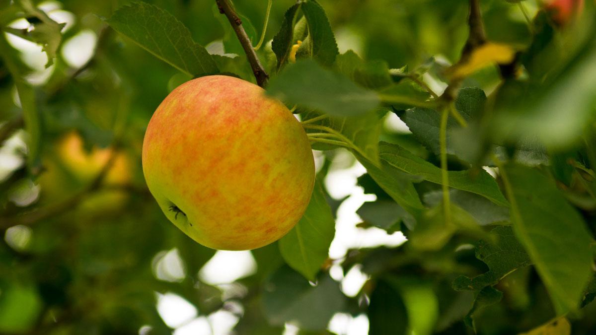 Äpfel am Wegesrand