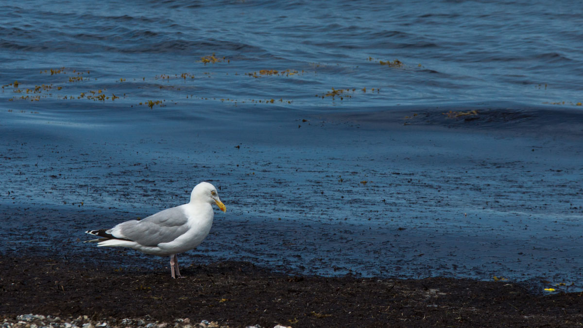 Möve am Strand der Geltinger Birk