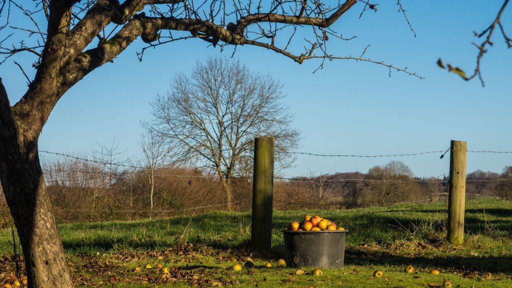 Die letzten Äpfel im Garten